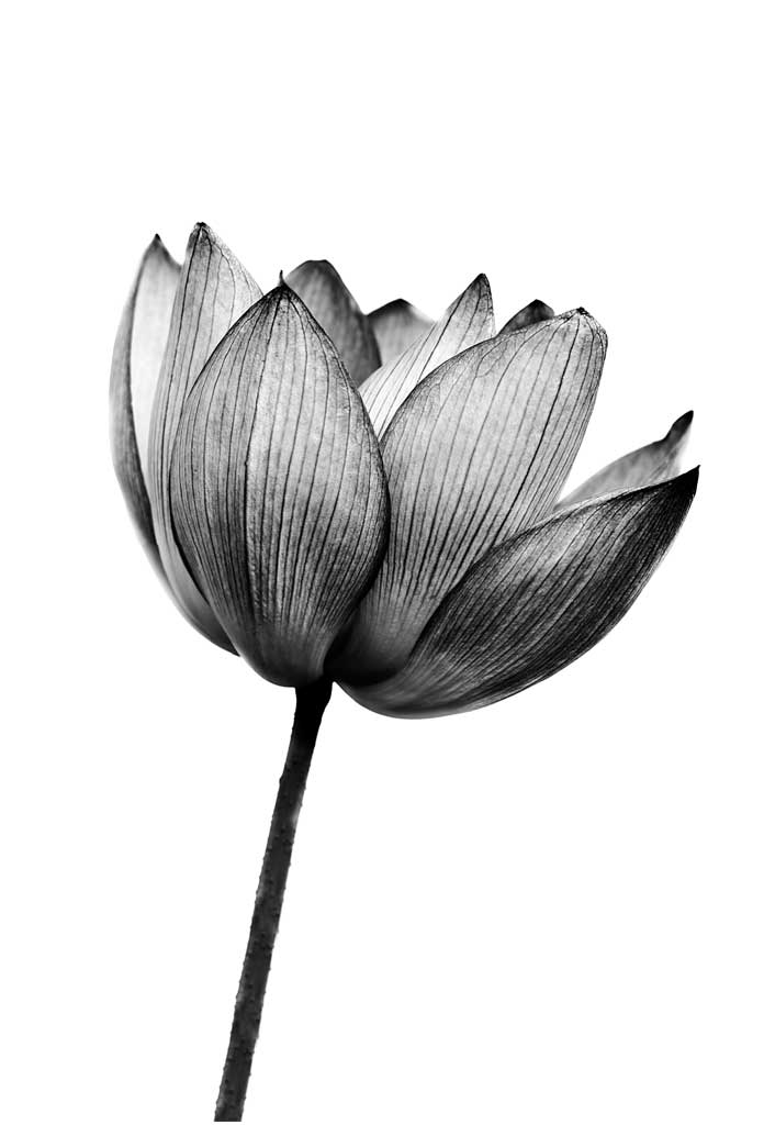 Lotus Bloem, Poster