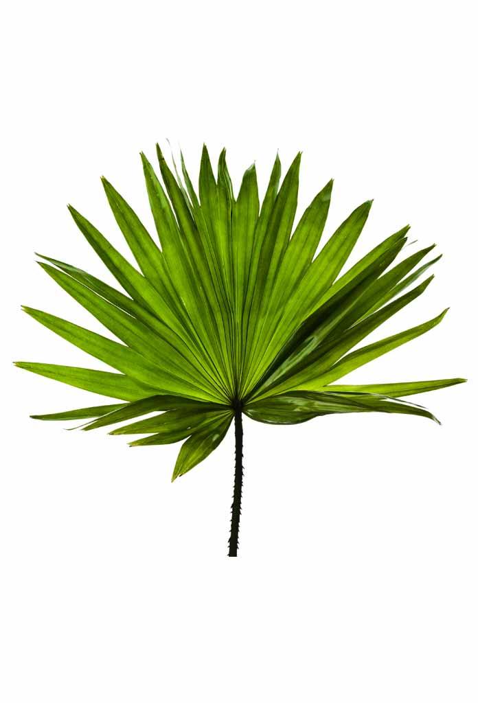 Palmboom blad, Poster