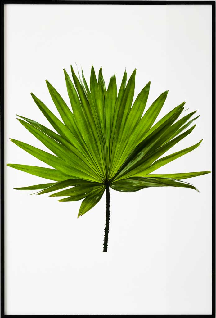 Palmboom blad, Poster