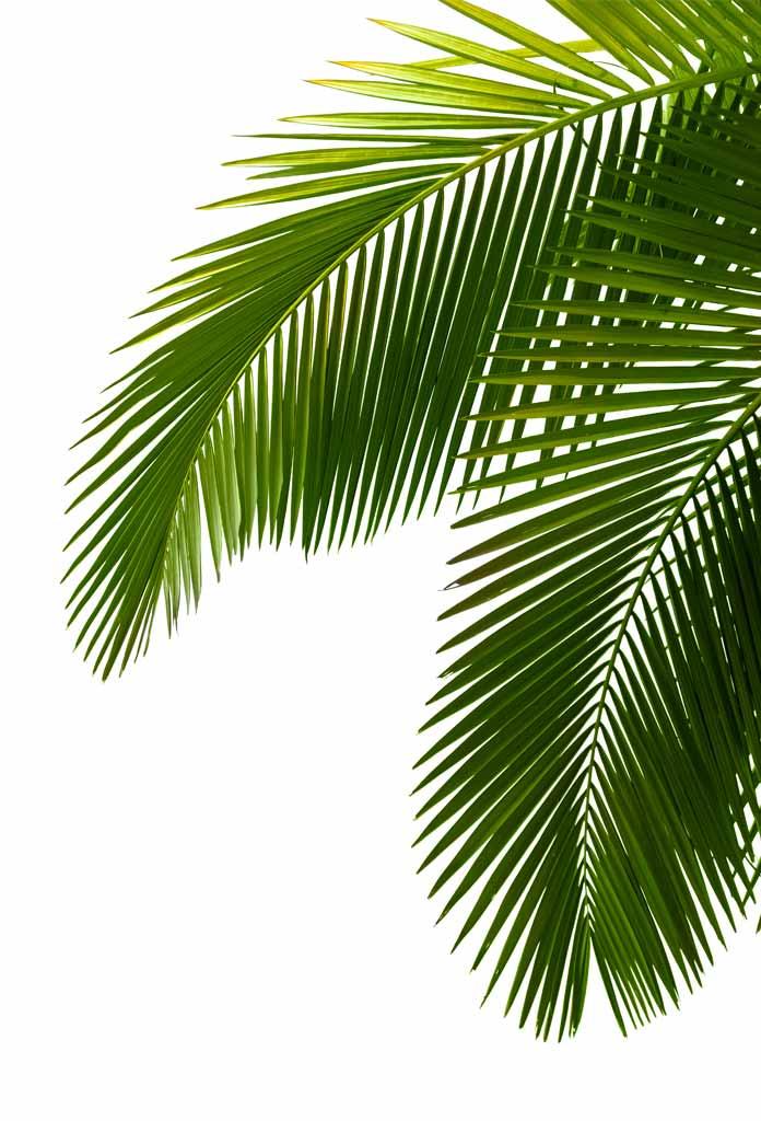 Palmboom takken, Poster