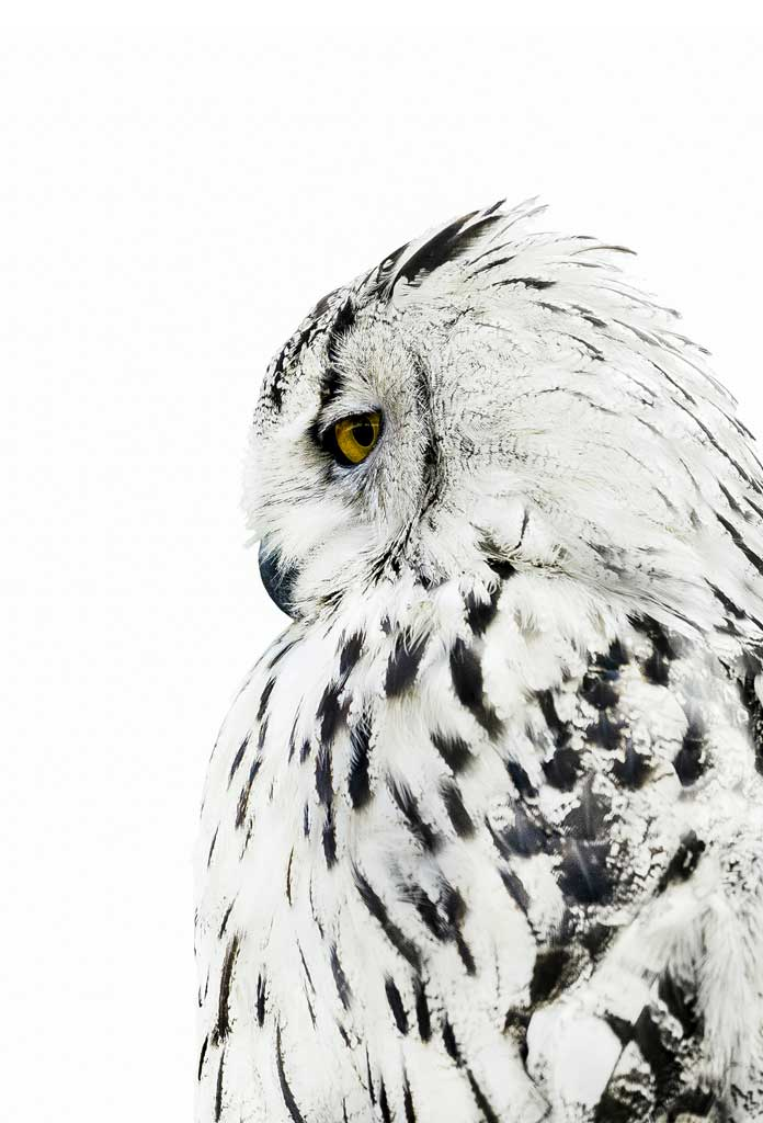 Snow Owl, Poster